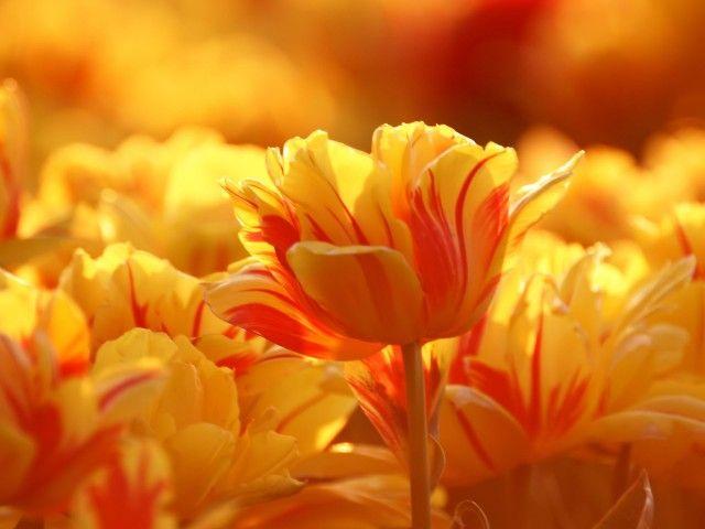 Tulips, cherry, hot,