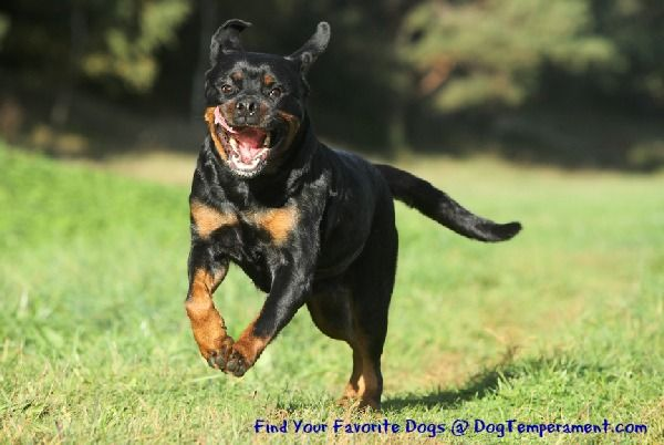 How To Bring Out The Best Rottweiler Temperament Aggressive Dog
