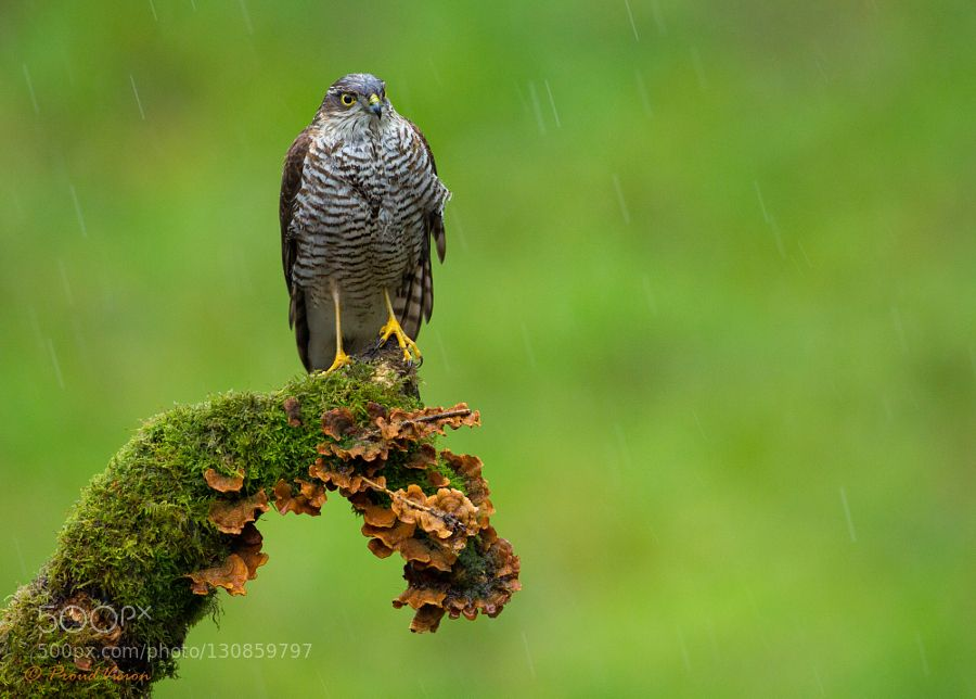 Drenched Sparrowhawk - Pinned by Mak Khalaf A drenched female Sparrowhawk perched in a storm Animals BirdHawkSparrowSparrowhawkbird of preyconditionslow lightrainstormweatherwindy by mank74