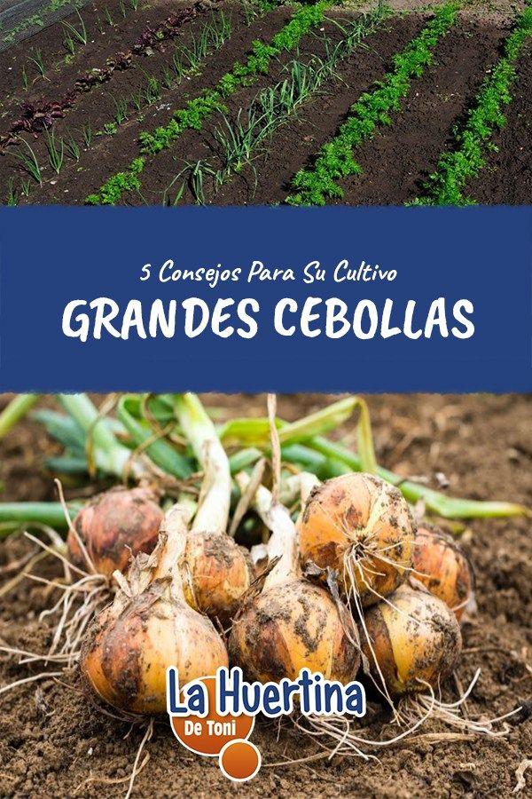5 Tips Para Cultivar Grandes Cebollas En La Huerta Cultivo De Hortalizas Cultivo De Calabaza Huerto Frutal