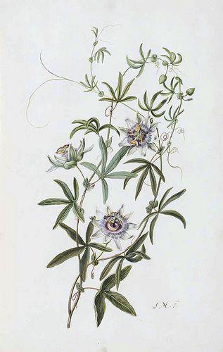Blue Crown Passion Flower Passiflora Caerulea Cistus Ladanifer Moninckx Atlas Moninckx J Vol 2 T 40 1682 1701 Passion Flower Botanical Painting Botanical Flowers