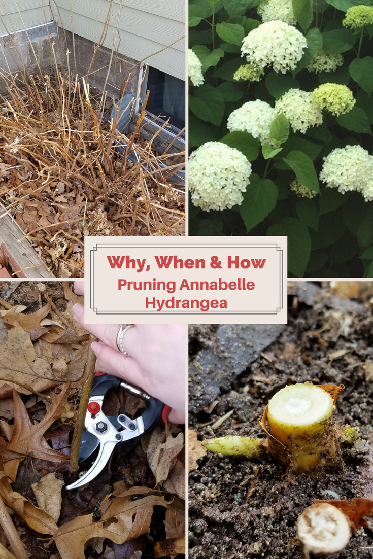 Why When And How To Prune Annabelle Hydrangea Annabelle