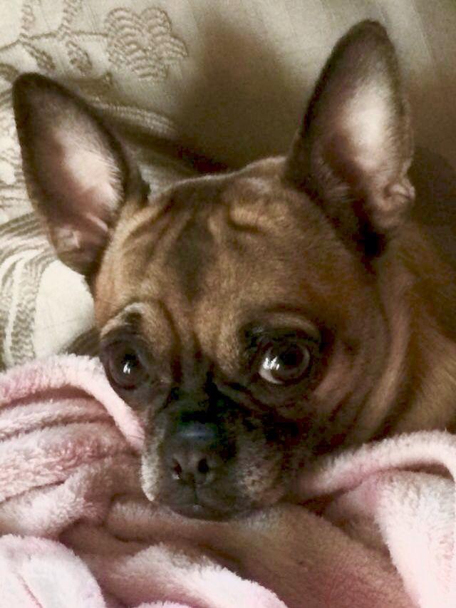 An Adorable Bullhuahua French Bulldog And Chihuahua Mix Cute