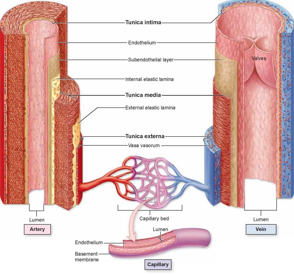 Vasa vasorum – Definición, función, estructura, tipos | Anatomia ...