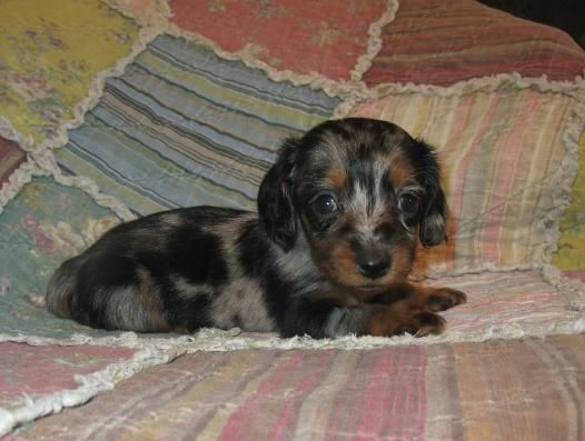 Aw I Want This Wiener Dog Dachshund Breeders Dachshund Puppies