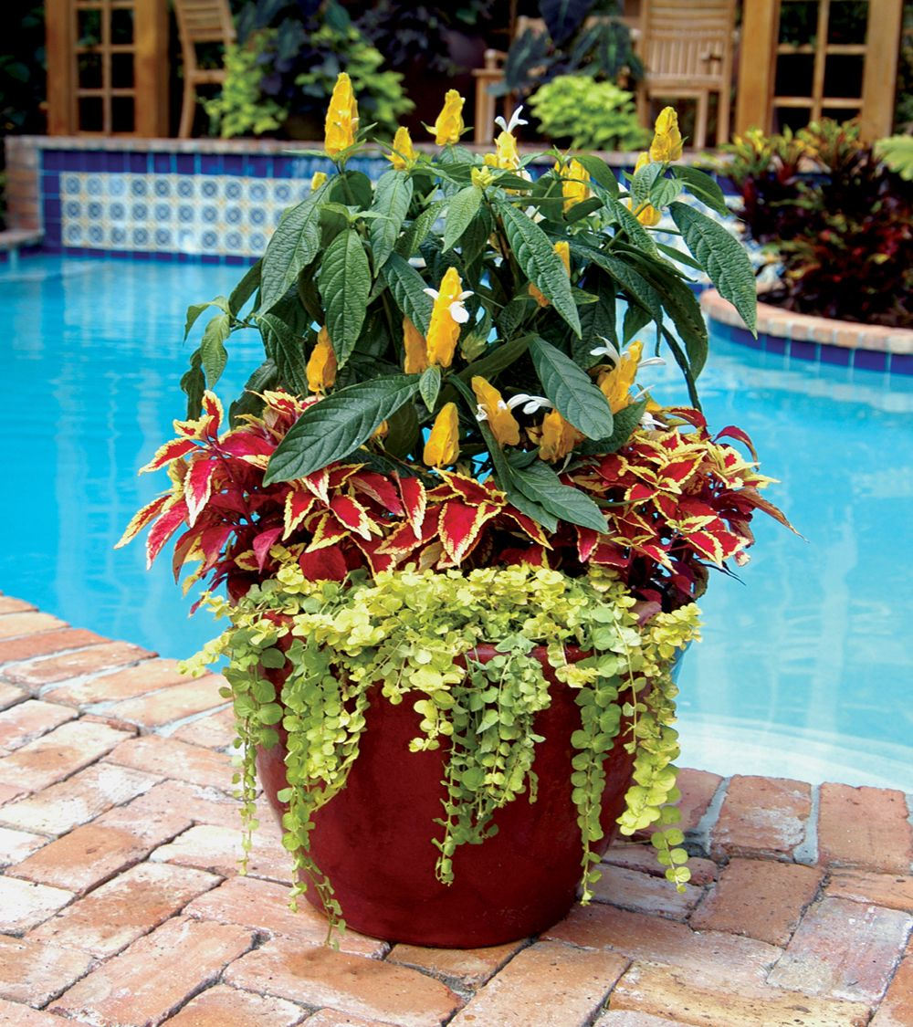 South Florida Tropical Landscape Ideas Planter Container: Shrimp Plants With Coleus And Creeping Jenny Are A Great