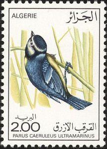 African Blue Tit (Parus caeruleus ultramarinus)