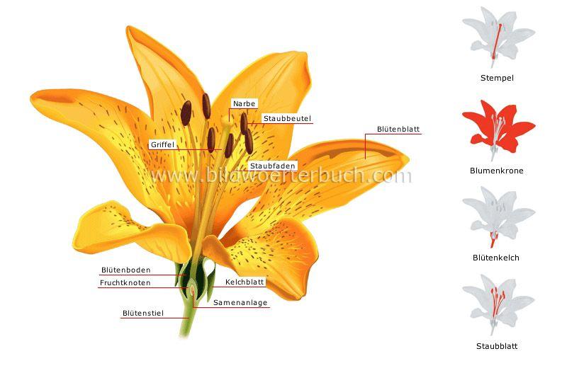 Aufbau Einer Blume : aufbau einer blume bild geographie pinterest einfache blumen blumen bilder und blumen ~ Whattoseeinmadrid.com Haus und Dekorationen