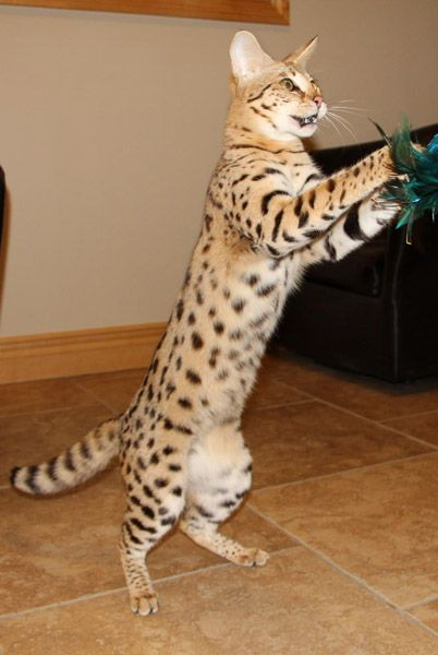 F1 Savannah Cat Breed Cat Breeds Savannah Cat Pet Fox