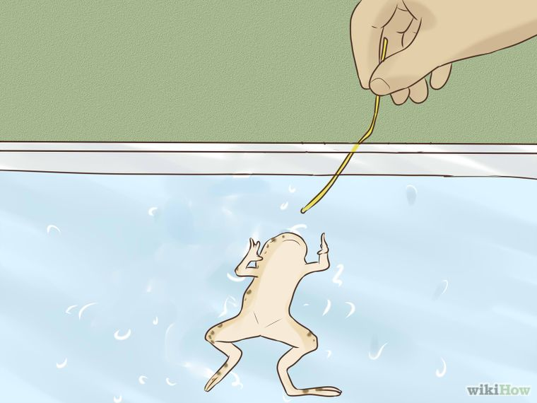 How To Play With Your African Dwarf Frog 5 Steps With Pictures Dwarf Frogs African Frogs Pet Frogs
