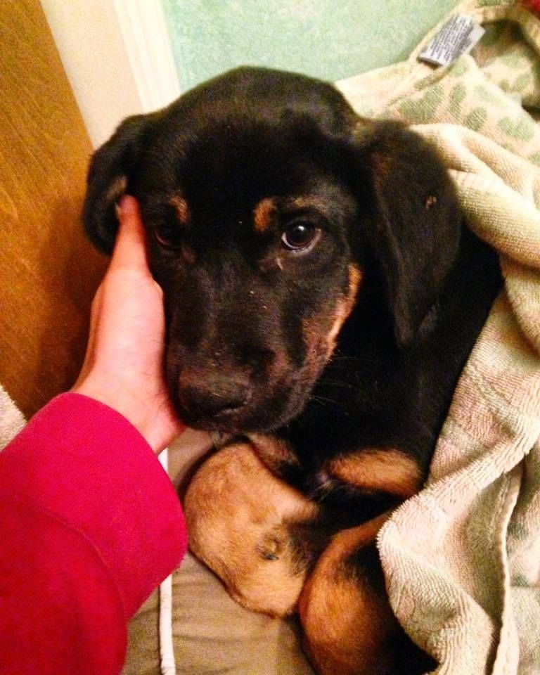 Labrotties A Rottweiler Mixed Breed To Love Rottweiler Mix