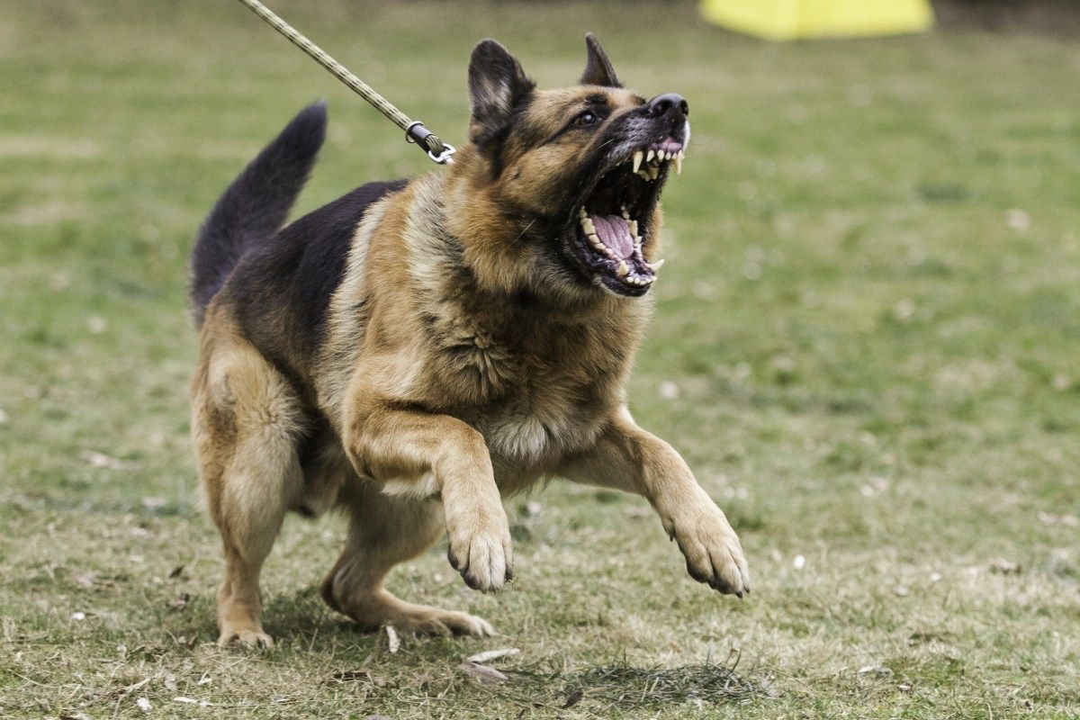 The Dark Side Of Socialization Fear Periods And Single Event Learning Aggressive Dog Dangerous Dogs Dog Growling