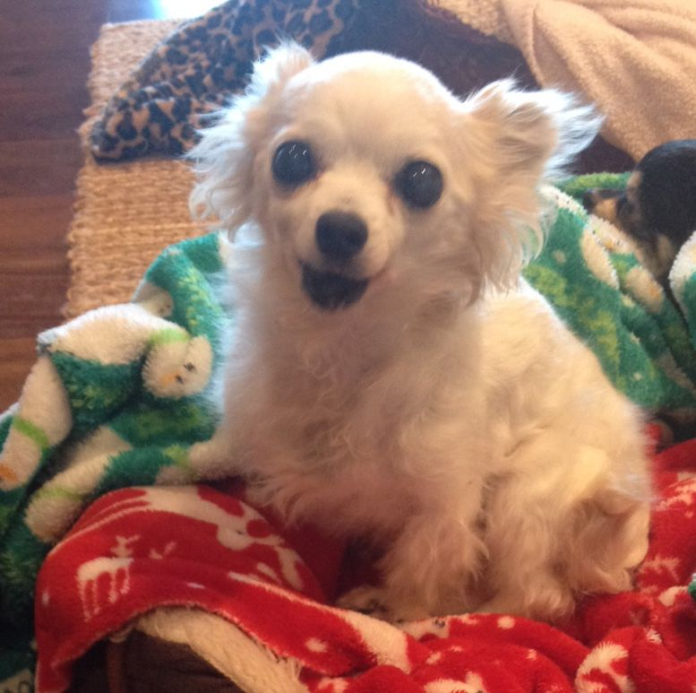Lost Dog Chihuahua Long Haired Highland Village Tx United States 75077 Losing A Dog Dogs Chihuahua