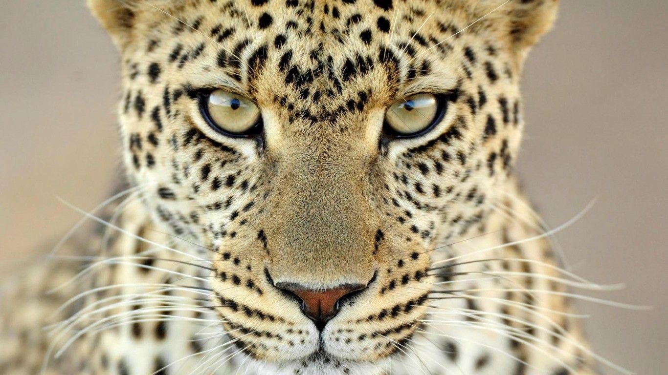 Cheetah HD Wallpapers Backgrounds Wallpaper 1600×1200 ...