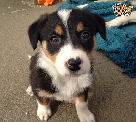 Border Collie X Huntaway Puppies Abergele Conwy Pets4homes Puppies Border Collie Collie