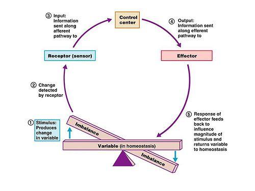 Internal Environment Homeostasis Definition - valoblogi.com