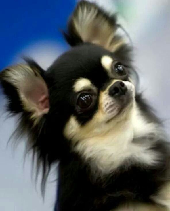 That Face Chihuahua Welpen Hundebabys