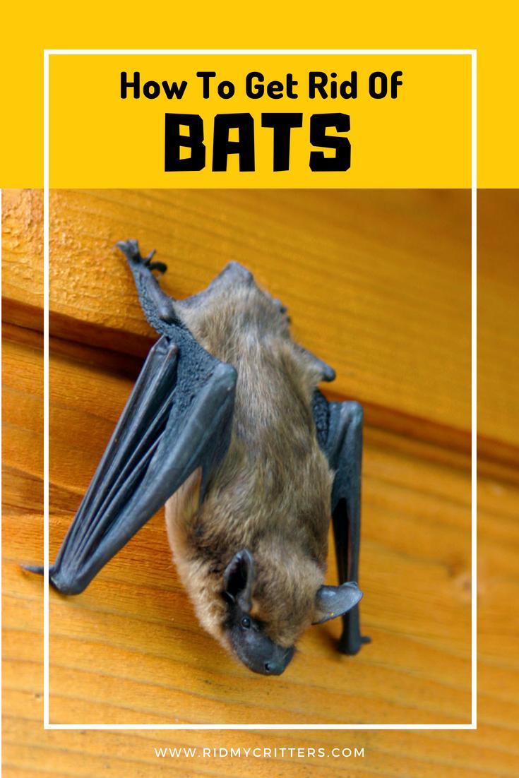 How To Get Rid Of Bats From The Attic Chimney Basement And Walls Getting Rid Of Bats Bat Repellent Bat