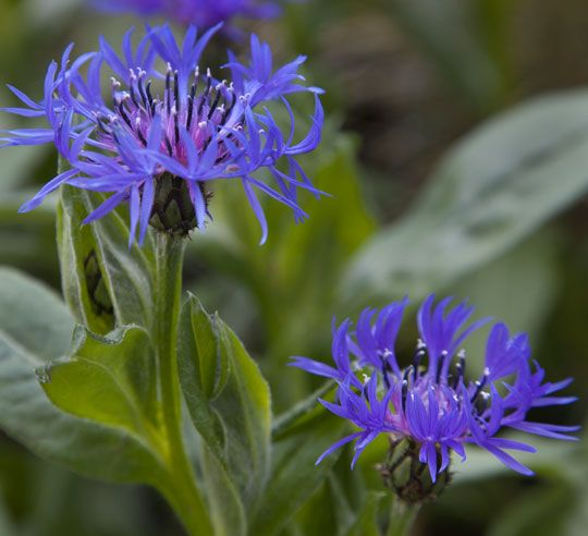 What S In Bloom May 17 2013 Blue Flowers Garden Bachelor Button Flowers Flowers Perennials