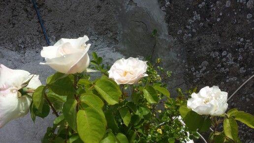 Rose bianche del mio terrazzo