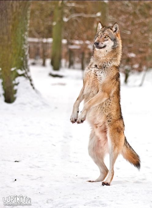 Standing On Hind Legs Tumblr Wolves Wolf Eurasian Wolf Animals