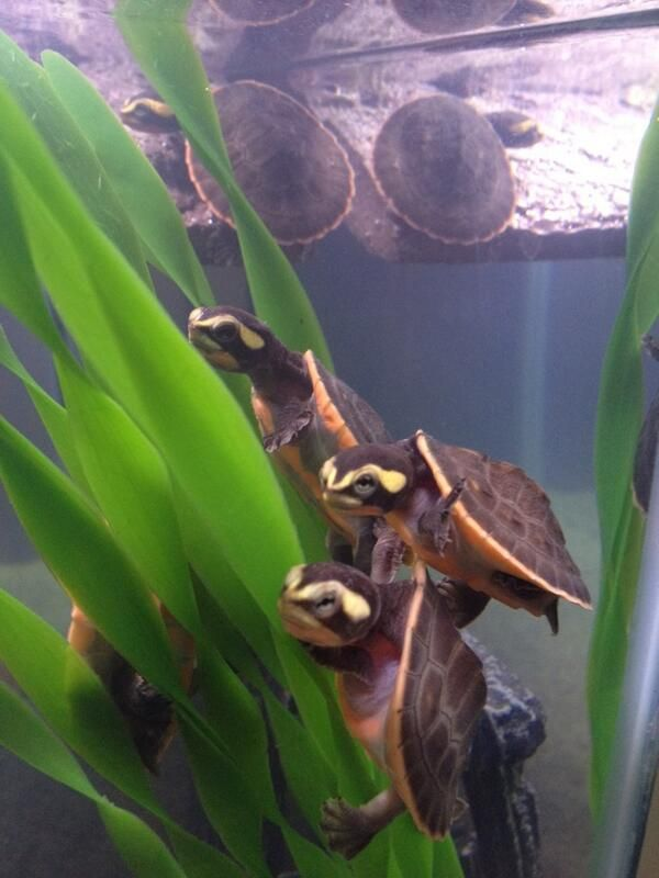 Aquatic Turtles For Sale Turtles For Sale Baby Turtles For Sale Pet Turtle