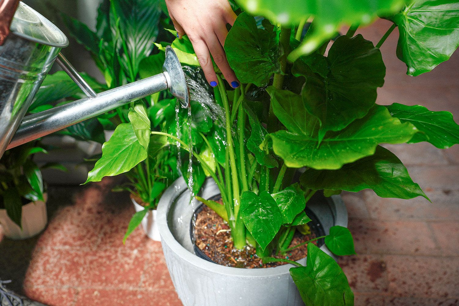 Essential Tips For Watering Houseplants Roger S Gardens In 2020 Watering Houseplants Plant Care