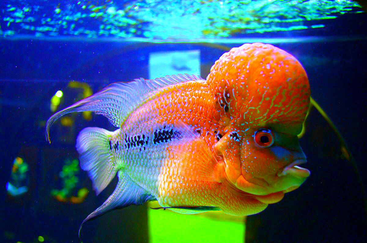 Flowerhorn guide.CLICK ON LINK and discover the secret of