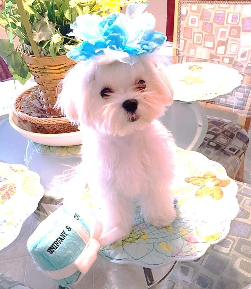 Boutique Chic Maltese Maltese Dogs Cute Little Puppies