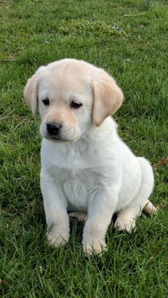Labrador Retriever Puppies For Sale Lancaster Puppies Hunde Susse Hunde Tiere