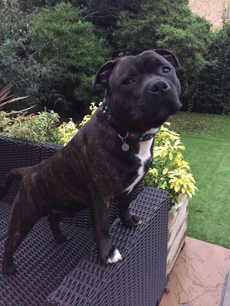 Vinnie Pitbull Terrier Pitbulls Staffordshire Bull Terrier
