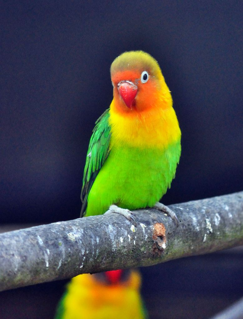 Fischers Lovebird Agapornis Fischeri Bird And Beautiful Birds