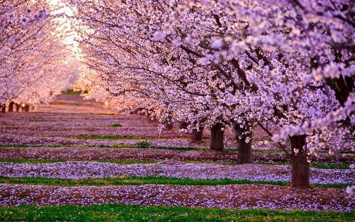T l charger fonds d 39 cran cerise le printemps les arbres fleur rose fleurs coucher de - Greffe du cerisier au printemps ...
