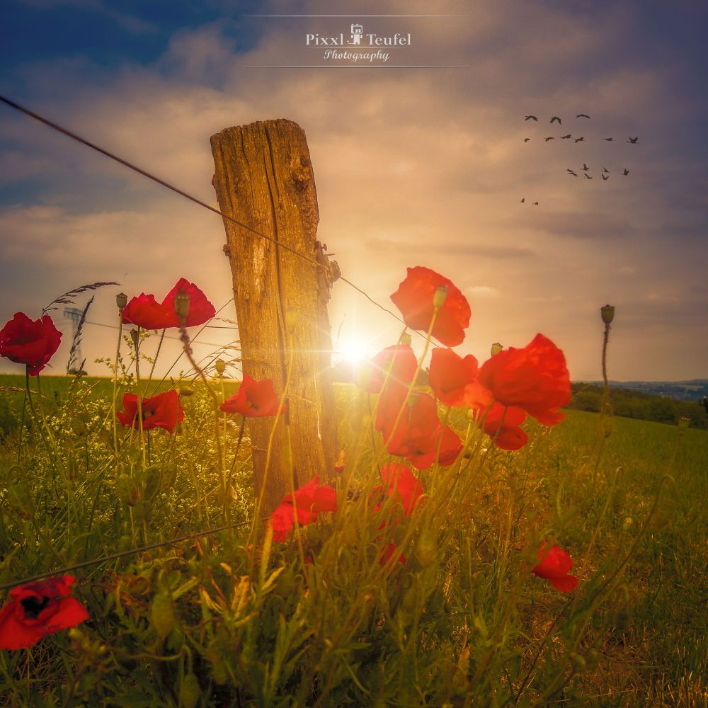 Poppies in Sunset by PixxlTeufel on 500px