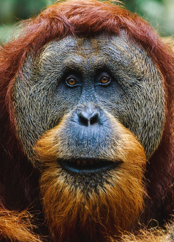 Download this free HD photo of orangutan, animal, ape and