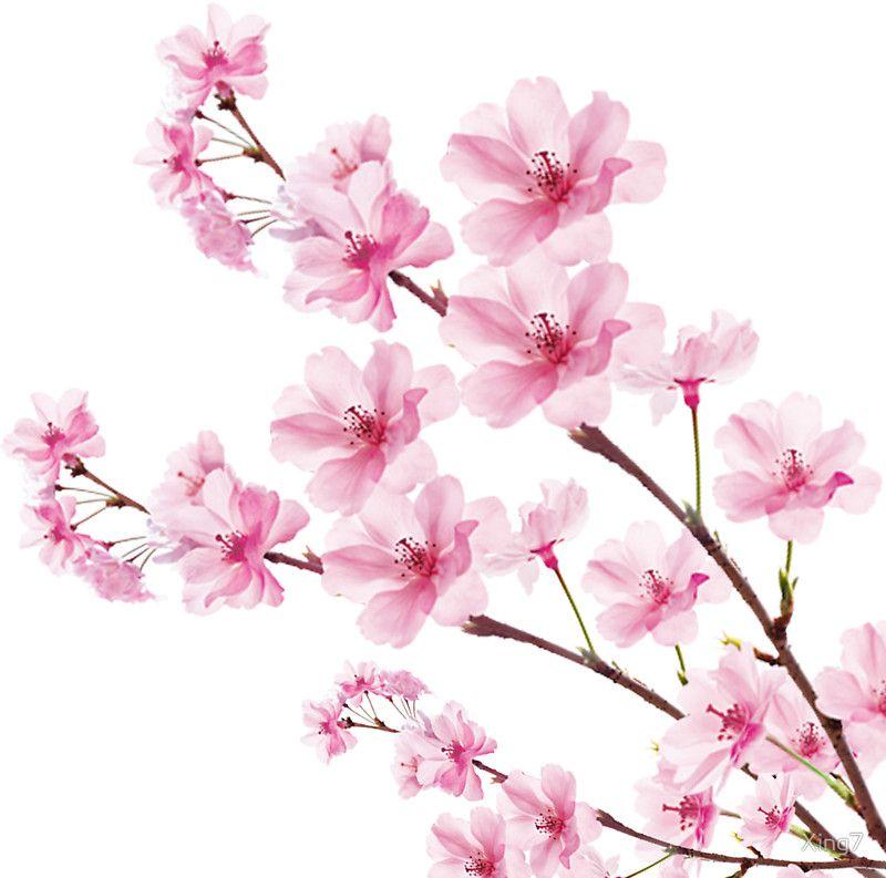 Sakura Cherry Blossom Sticker By Xing7 Cherry Blossom Art Cherry Blossom Drawing Cherry Blossom Painting