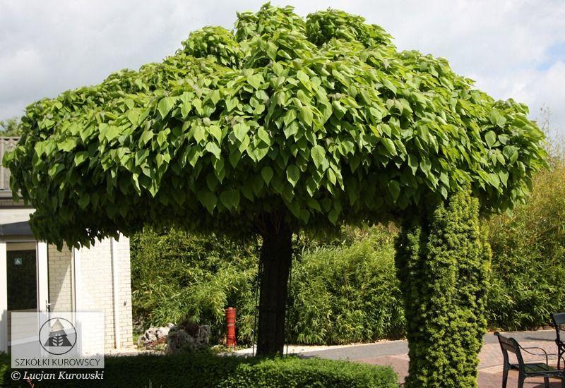 catalpa bignonioides 39 nana 39 kugel trompetenbaum vorgarten. Black Bedroom Furniture Sets. Home Design Ideas