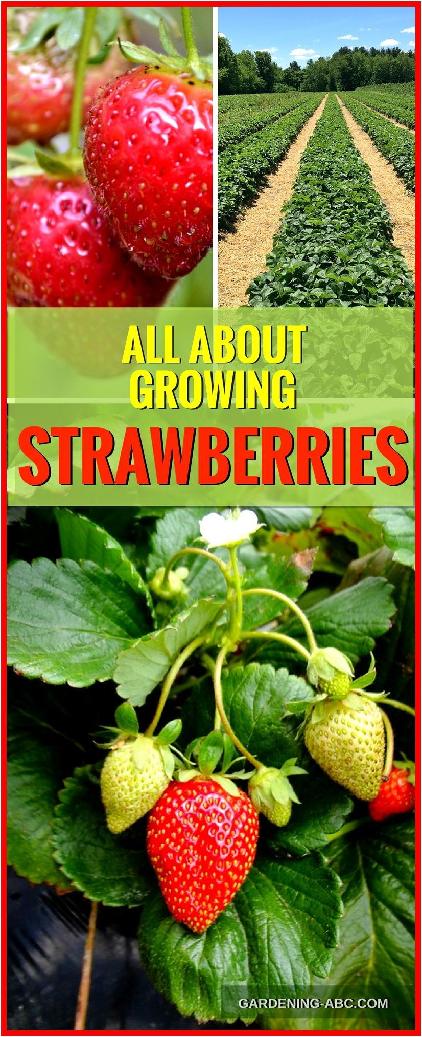How To Grow Strawberry Plants Strawberry Growing In A 400 x 300