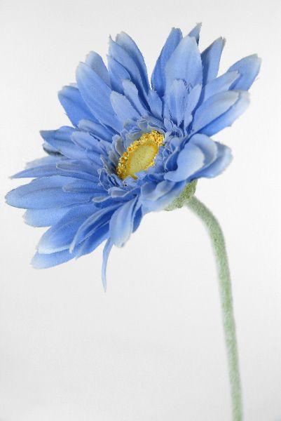 Cornflower Blue Gerbera Daisies 4 Wide 22 5 Tall 24 For 0 89 Each Gerbera Daisy Blue Plants Blue Flowers