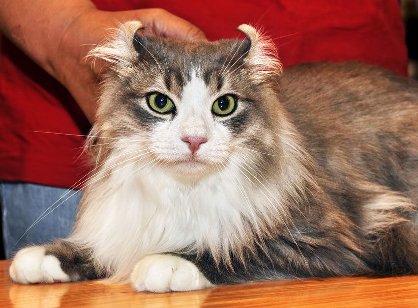 An American Curl Cat With Incredible Back Curled Ears And Green