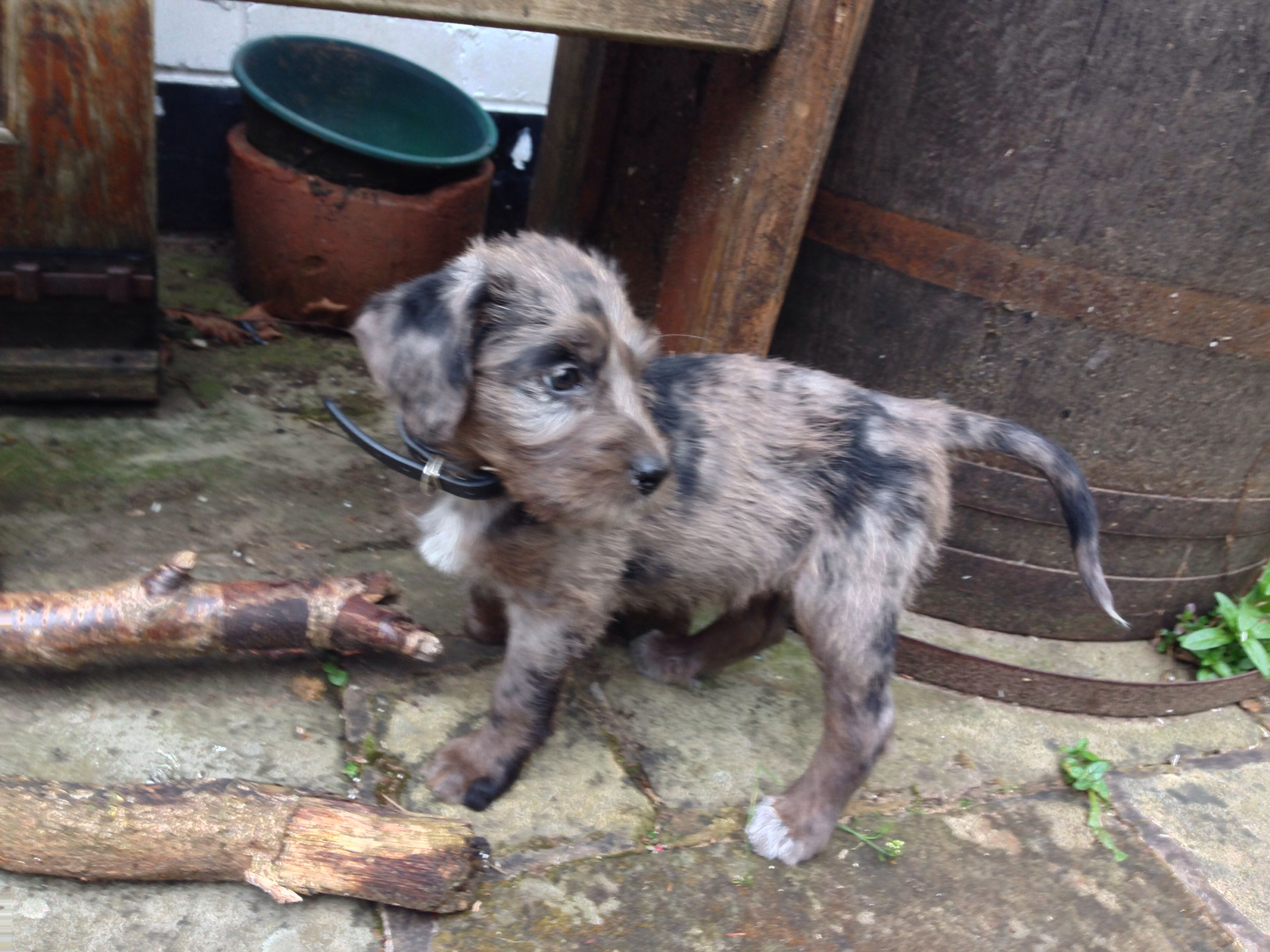 Tilly Our Italian Spinone X Harlequin Beauceron Cross Puppy 9