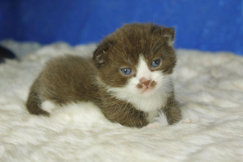 Chocolate Bicolor Standard Munchkin Kitten | Cute kittens