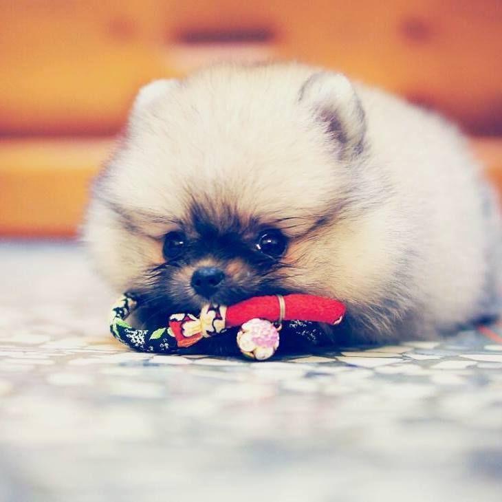 Baby pomeranian dog baby pomeranian cute animals