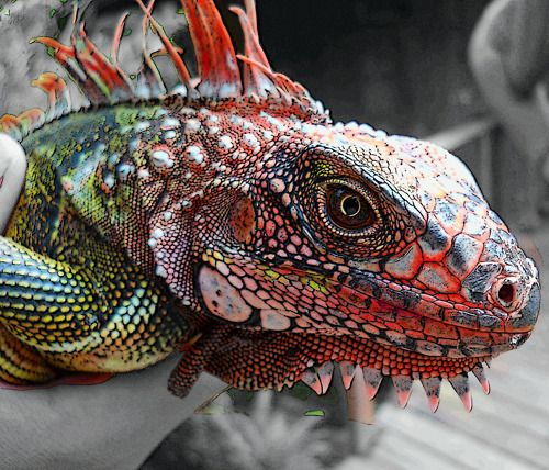 Amazing Colorful Chamilions: Iguanas Are Really Interesting Animals. True Dinosaur