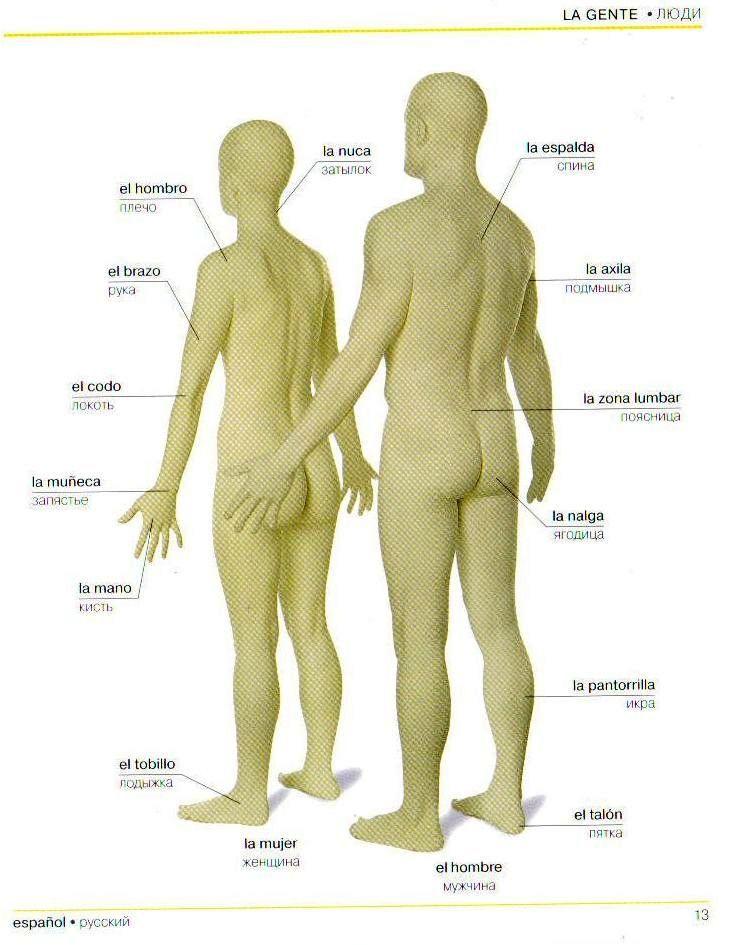 partes del cuerpo parte 2   Diccionario Ruso Español Ilustrado ...