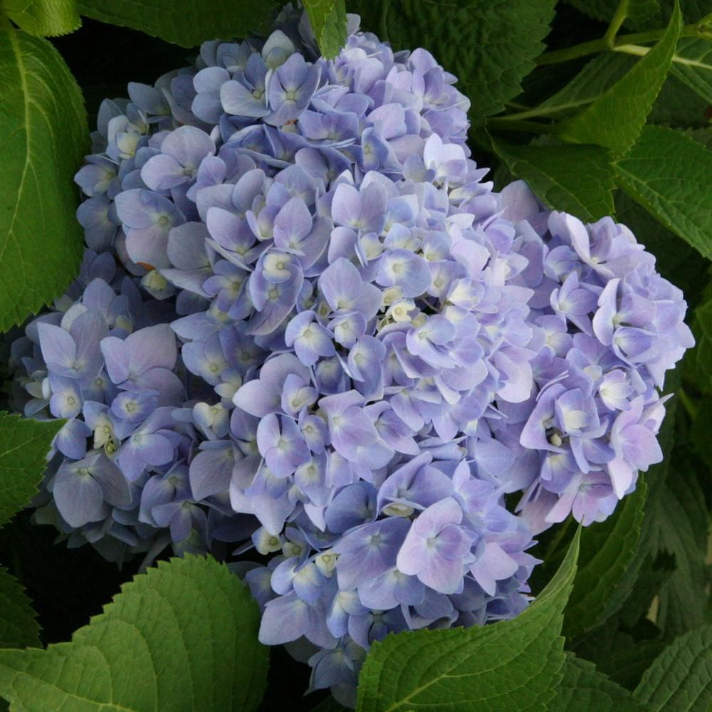 Spring Hill Nurseries 4 In Pot Endless Summer Hydrangea Live Deciduous Flowering Shrub With Blue Or Pink Flowers 1 Pack 62211 The Home Depot Summer Hydrangeas Endless Summer Hydrangea Hydrangea Not Blooming