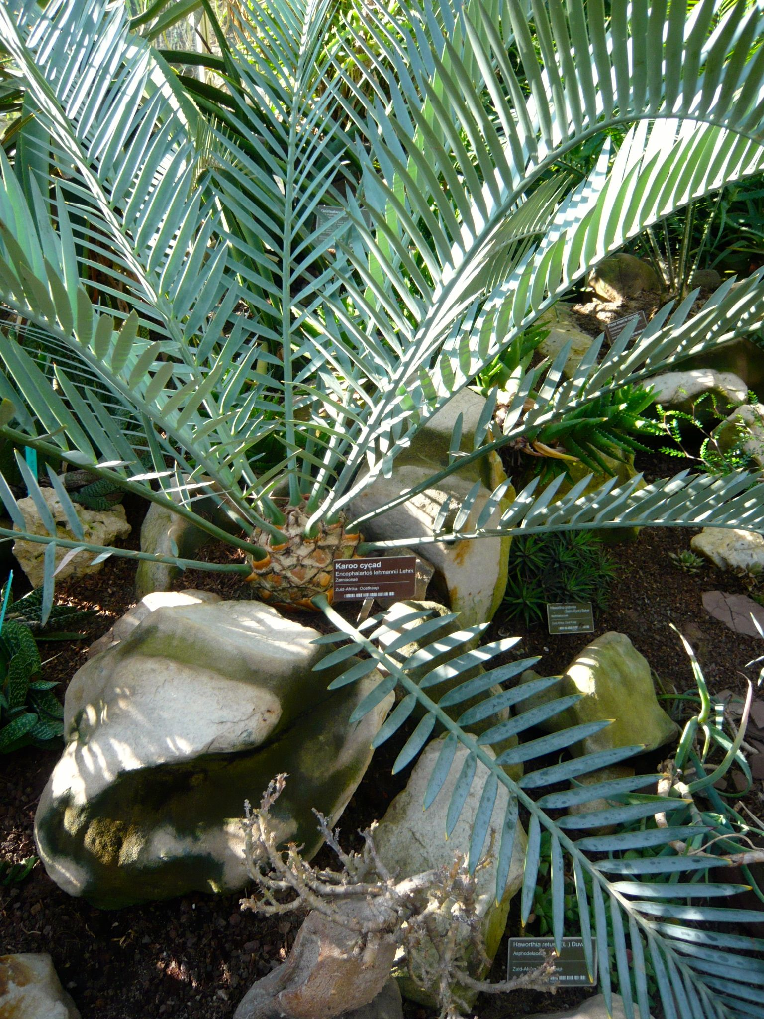 Hortus Botanicus Amsterdam has a renowned cycad collection like