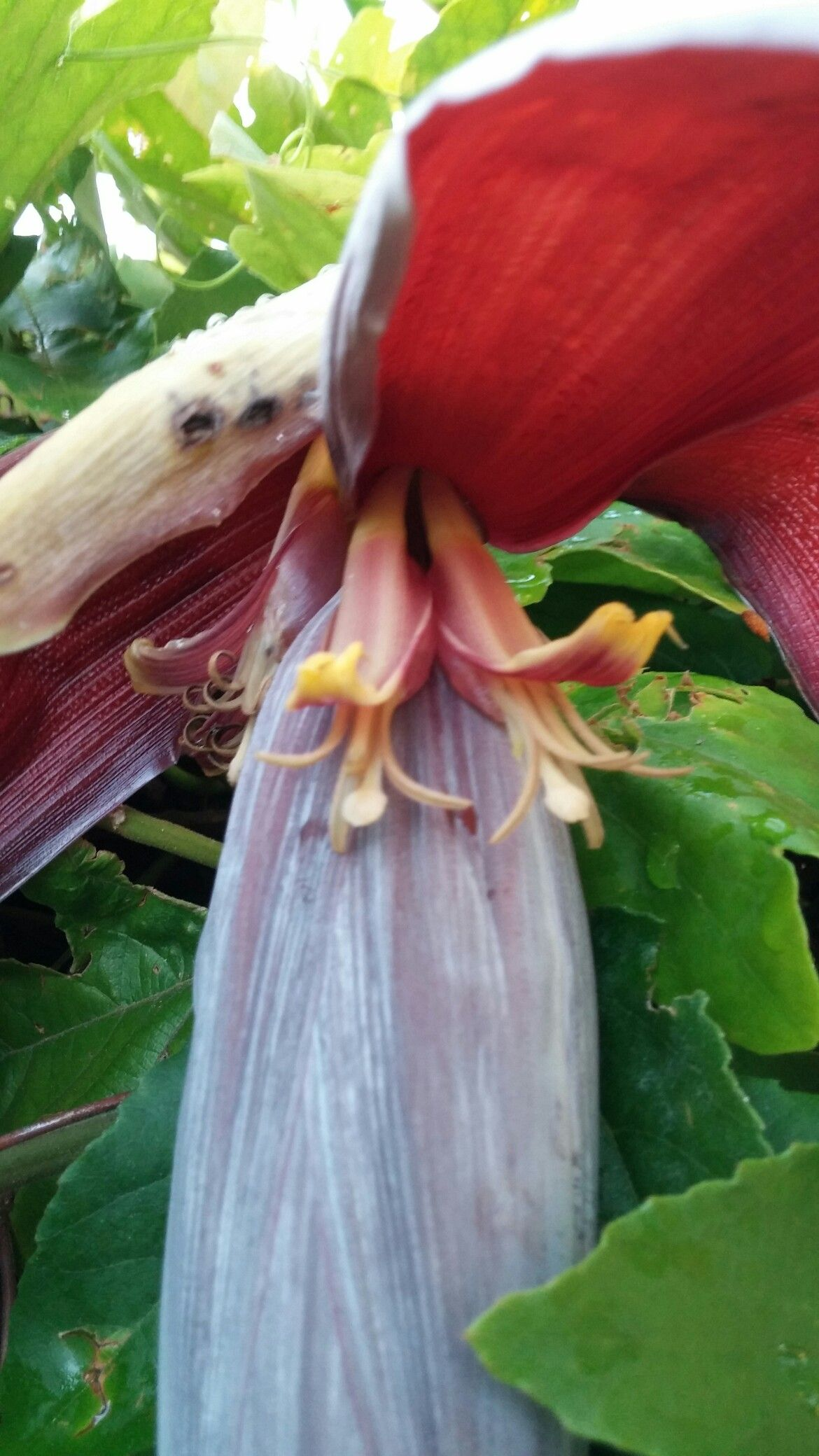 Banana flowers June 2016. No bananas ever formed and the plant died.