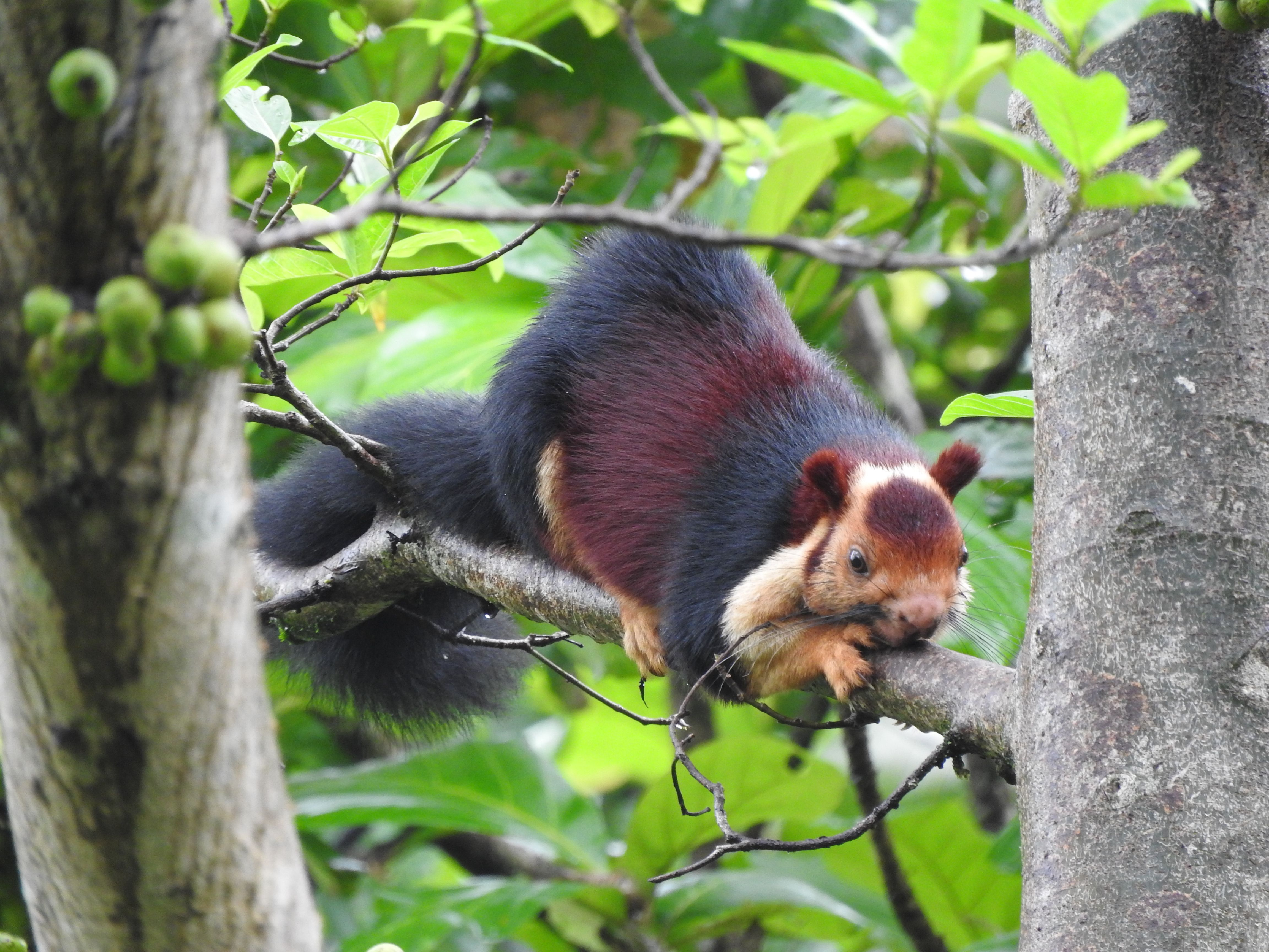 Malabar giant squirrel | Indian giant squirrel, Giant ...