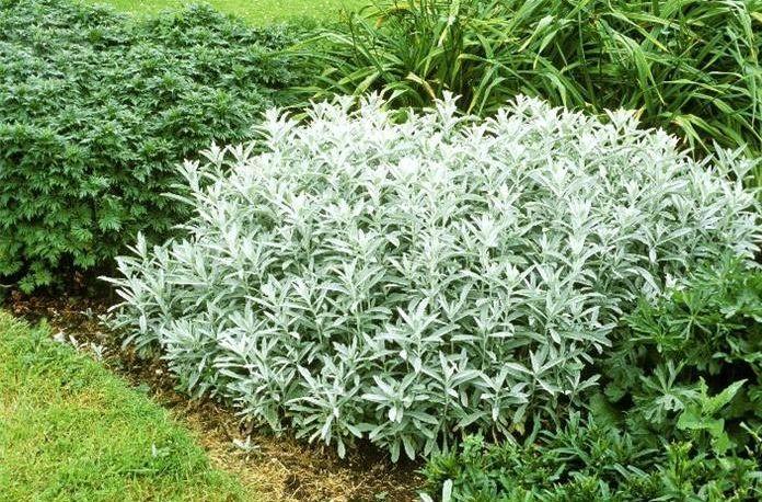 Eutopia flori plante pomi pinterest shrub and plants for Plante xanthorhiza